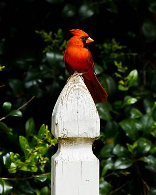 Art Print featuring the photograph Male Cardinal by Robert L Jackson