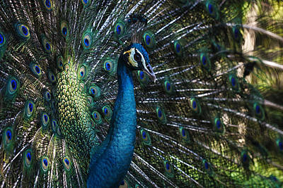Photograph - Male Peacock by Zoe Ferrie