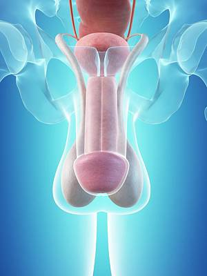 Male Penis Anatomy Art Print by Sciepro