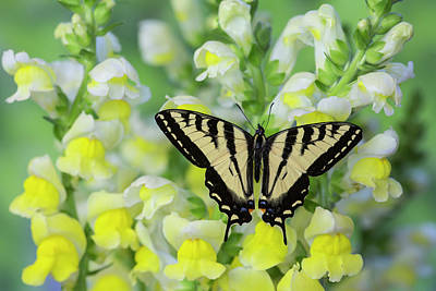 Snapdragons Photograph - Male Western Tiger Swallowtail by Darrell Gulin