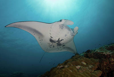 Photograph - Manta Ray, Yap, Micronesia by Andreas Schumacher