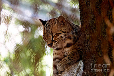 Margay Cat Photograph - Margay Leopard by Peter McHallam
