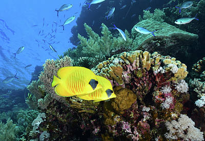 Photograph - Masked Butterflyfish, Red Sea, Egypt by Andreas Schumacher