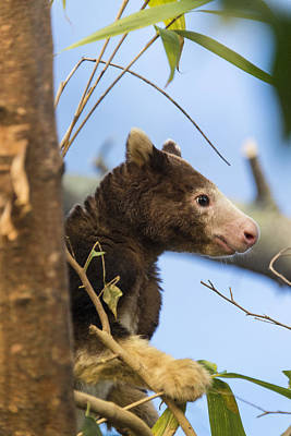Photograph - Matschies Tree Kangaroo by Mark Newman