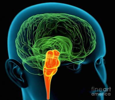 Medulla Oblongata In The Brain, Artwork Art Print by Roger Harris
