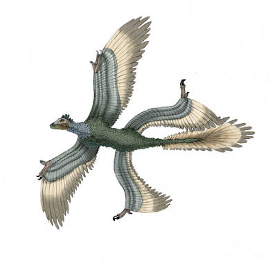 Flying Dinosaur Photograph - Microraptor by Spencer Sutton