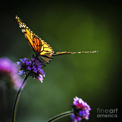 Environment Photograph - Monarch Butterfly by Elena Elisseeva