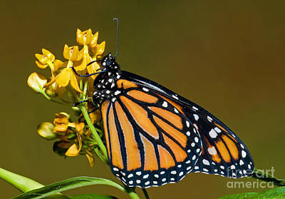 Monarch Butterfly Art Print by Millard H. Sharp
