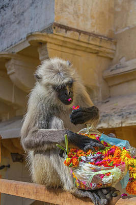 Amer Photograph - Monkey Amber Fort Jaipur Rajasthan India by Tom Norring