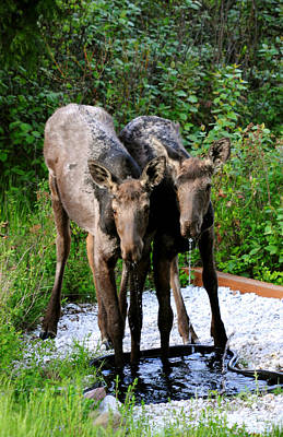 Photograph - 819p Young Moose Twins by NightVisions