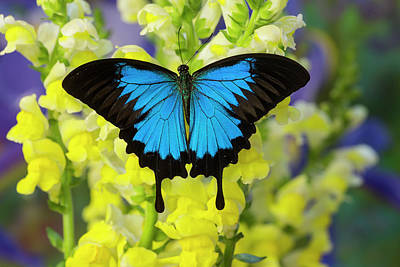 Snapdragons Photograph - Mountain Blue Swallowtail Of Australia by Darrell Gulin