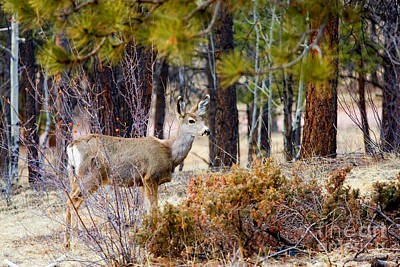 Steve Krull Royalty-Free and Rights-Managed Images - Mule Deer by Steve Krull