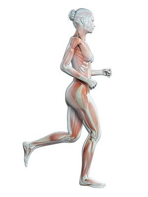 Muscular System Of Runner Art Print