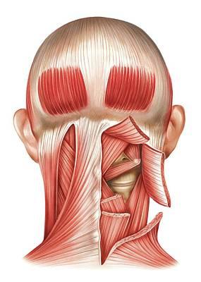 Nape Muscles Art Print by Asklepios Medical Atlas