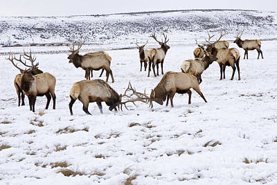 Photograph - National Elk Refuge by Jim West