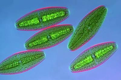 Unicellular Photograph - Netrium Desmids by Marek Mis