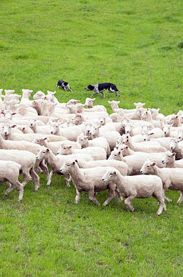 Herding Dog Photograph - New Zealand, North Island by Lee Foster