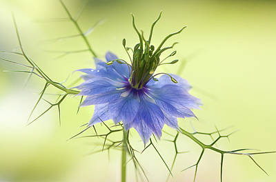 Floral Photograph - Nigella by Mandy Disher