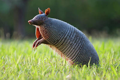 Armadillo Photograph - Nine-banded Armadillo (dasypus by Larry Ditto