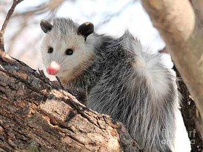 Photograph - North American Opossum In Winter by J McCombie