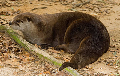 Photograph - North American River Otter by Millard H. Sharp