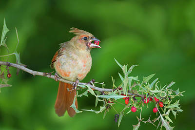 Female Northern Cardinal Photograph - Northern Cardinal (cardinalis Cardinalis by Larry Ditto