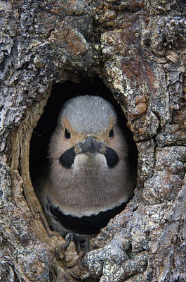 Flicker Photograph - Northern Flicker In Nest Cavity Alaska by Michael Quinton