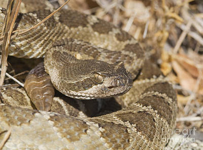 Photograph - Northern Pacific Rattlesnake by Dan Suzio
