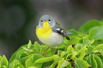 Northern Parula (parula Americana Art Print by Larry Ditto