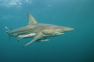 Remoras Photograph - Oceanic Black-tip Shark (carcharhinus by Pete Oxford