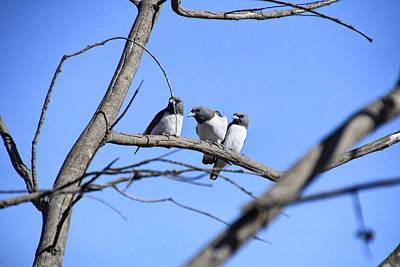 Swallow Photograph - 3 Of A Kind by Douglas Barnard