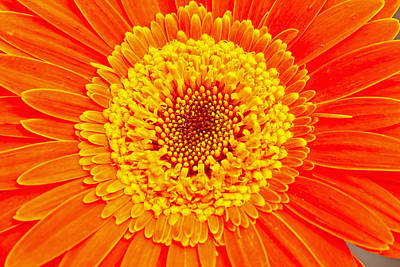 Orange Gerber Art Print by Borislav Marinic