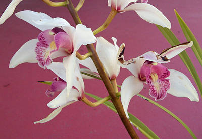 Photograph - Orchids by Shan Ungar