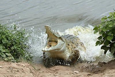 Orinoco Crocodile Protecting Nest Art Print