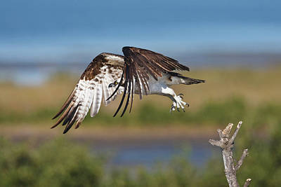Wild Wings Photograph - Osprey (pandion Haliaetus by Larry Ditto