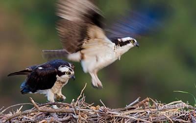 Photograph - Osprey by Ursula Lawrence