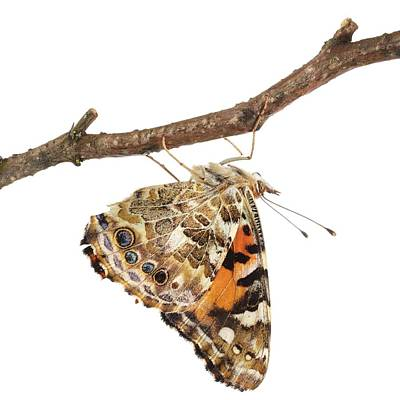Painted Lady Butterfly Art Print by Science Photo Library