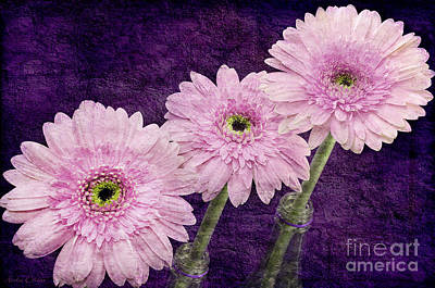 Photograph - 3 Painterly Radiant Orchid Gerber Daisies by Andee Design