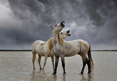 Grace Photograph - Pair Of Camargue Horse Stallions by Adam Jones