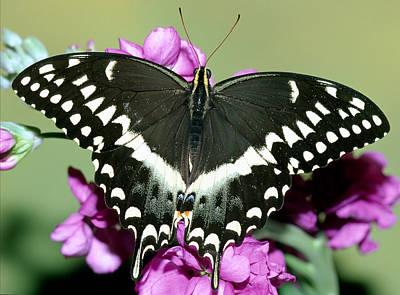 Photograph - Palamedes Swallowtail Papilio Palamedes by Millard H. Sharp