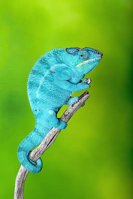 Robert Jensen Photograph - Panther Chameleon by Robert Jensen