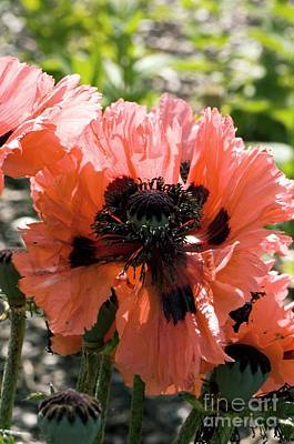 One Single Pink Poppy Flower Photograph - Papaver Orientale Pink Ruffles by Adrian Thomas