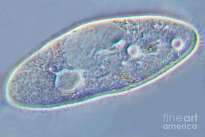Paramecium Art Print by Kent Wood