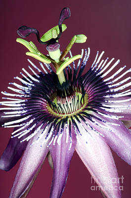 Passion Flower Passiflora Amethystina Art Print by Lawrence Lawry
