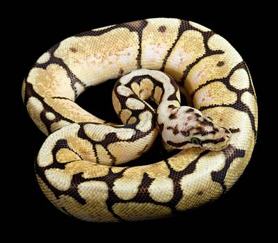 Pastel Variant Royal Python Art Print