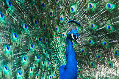 Photograph - Peacock by Mark Newman
