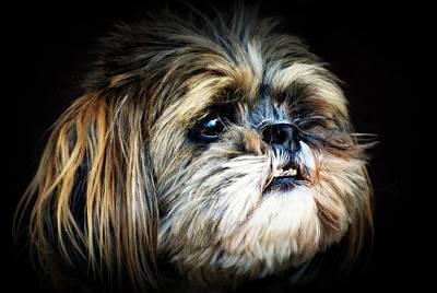 Canine Photograph - Peanut Shitz Tzu by Laura Strain