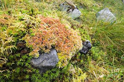 Peat Moss Sphagnum Sp Print by Duncan Shaw