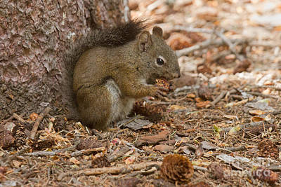 Photograph - Pine Squirrel by Fred Stearns
