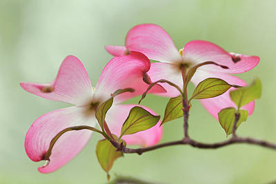 Audubon Park Photograph - Pink Dogwood Tree Blossoms, Louisville by Adam Jones